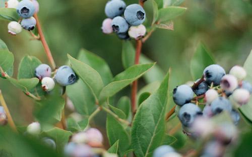 Tasmania-Berries