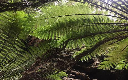 Tasmania-Ferns